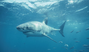 How Can NSW Prevent Shark Attacks?