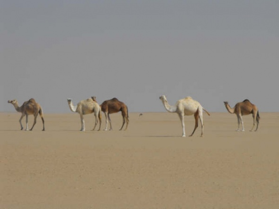 ...loads of camels and donkeys