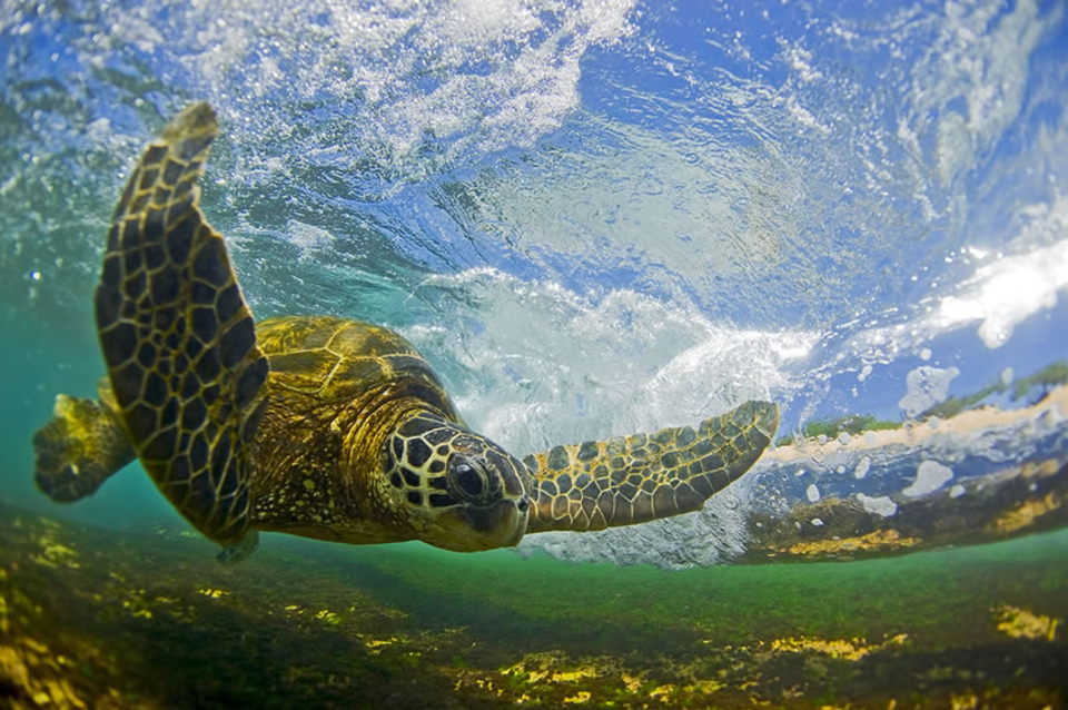 A Hawaiian Green Sea Turtle, Honu as they are known in Hawaii, passes behind a breaking wave. These endangered turtles are very skilled at positioning themselves to avoid the crashing waves.