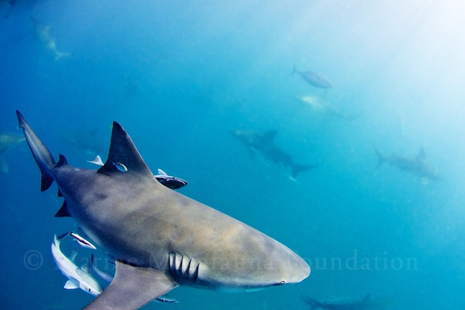 Get up close with some mega fauna such as this bull shark