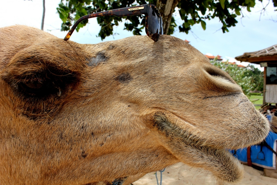 The guru camel at Niko beach, watching the lineup, if you need some knowledge about the wave, ask him