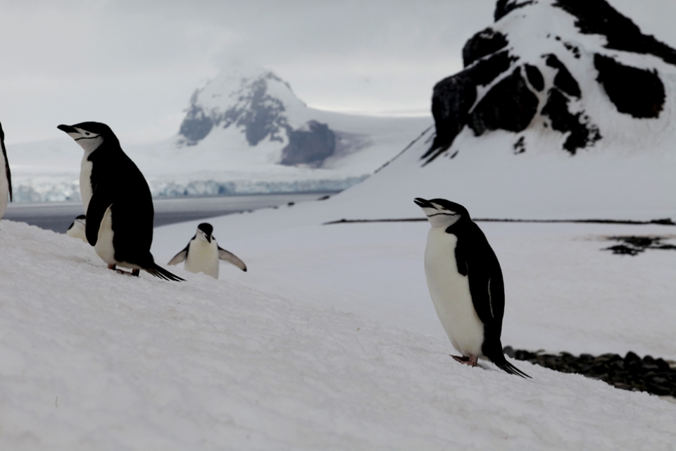 Living in the penguin colonies, a classic trait of the leopard seal is to be protective and territorial, meaning they were more likely to attack than any shark.
