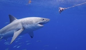WATCH: Huge Shark Appears from Nowhere, Gives Diver a Little Bump