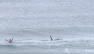 Nonchalance as Orcas Join In On Norwegian Surf Contest